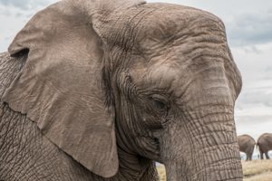 Elephant With Thick Skin